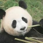 Nouveau Panda en France (dimanche 15 janvier 2012)