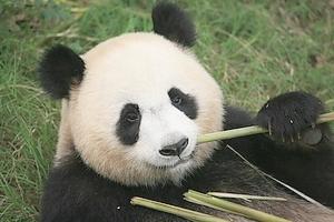 Panda FedEx Express